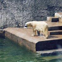 Белый медведь (300 парк) в Санкт-Петербурге :: Дарья Егорова