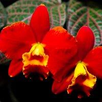 Две орхидеи :: Илья Шипилов