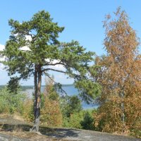 И на камнях растут деревья. :: Наталья Левина