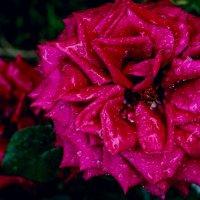 розы :: ник. петрович земцов