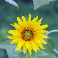 Цветок солнца :: Виолетта
