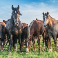 на лугу пасутся кони... . :: Борис Коктышев