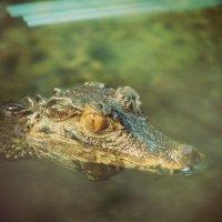крокодил :: Светлана Бабенкова