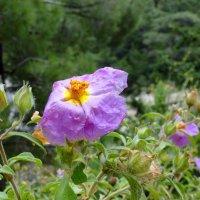 Ладанник цветущий в горах :: Елена Шемякина