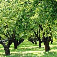 Яблочки висят на веточке :: Екатерина Василькова