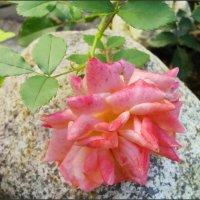 Печальная роза... :: lady v.ekaterina