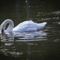 Белый лебедь на пруду... :: Nonna
