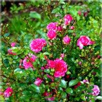 Розовые розы... :: Наталья Агеева