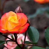 Роза, королева цветов. :: Маргарита ( Марта ) Дрожжина