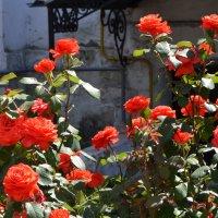Красные розы. :: Oleg4618 Шутченко