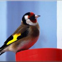 щегол :: linnud