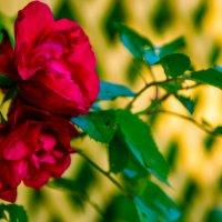 Розы. :: Инта