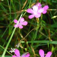 Полевые цветы :: Наталья Полочанка