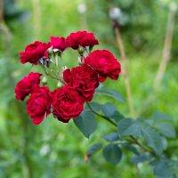 Рози колір :: МищЪя Бульбо