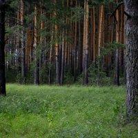 В хвойном лесу :: Анастасия Курганова