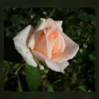 Роза сладкая,роза нежная... :: Luis-Ogonek *