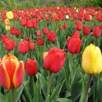 Тюльпаны :: Виктор Князев