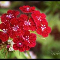 Красные :: Софья Киселева