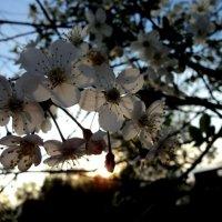 В Японии тоже вишни цветут) :: Мария Лапшина