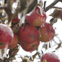 зимние яблоки :: ирина слобина