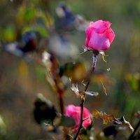 роза в декабре.. :: Марина Брюховецкая