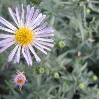 Просто цветок :: Михайло Шпак