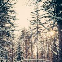 лес :: Илья Целовальников