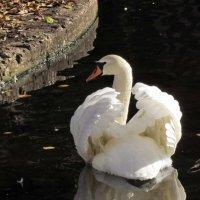 Лебедь :: галина северинова