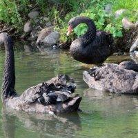 Черные лебеди :: Евгений Карягин