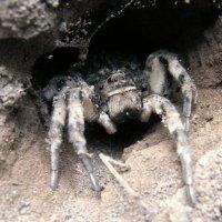 Самка тарантула :: Сергей Ко