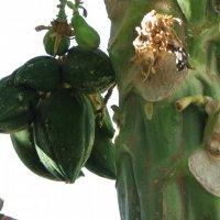 какао :: ирина слобина