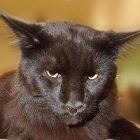 Таких котов должно быть много . Вес 13 кг . ! :: Игорь Абрамов