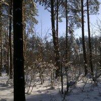 Зимний лес (Пинск) :: Сергей Корольчук