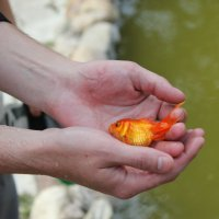 Золотая рыбка :: Anna Finko