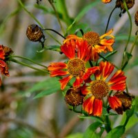 Последние цветы* :: Наталия Зыбайло