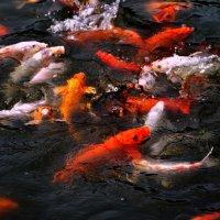 золотые рыбки :: Оуян Фанфэй