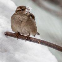Воробей и снег :: Павел Гасс