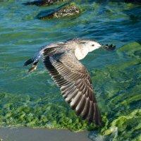"""""""зеленое""""-черное море + чайка-фотомодель :: Steve McNight"""