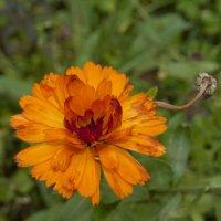Осенний цветок :: Наталия Зыбайло
