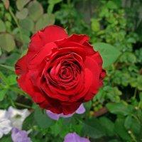 роза красная... :: Александр Корчемный