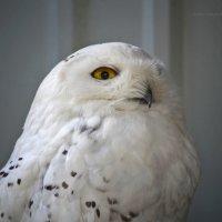 Полярная сова :: Татьяна Кретова