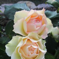 роза Jalitah :: lenrouz