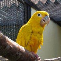 Жёлтый попугай :: Nikolay Monahov