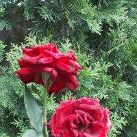 Розы :: Евгения Мельникова