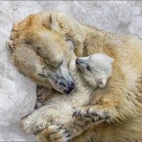 Белые медведи :: Nn semonov_nn