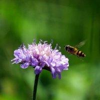 Пчела :: Татьяна
