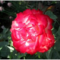 Роза-фонарик... :: Тамара (st.tamara)