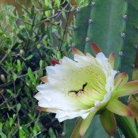 Шмель на цветке кактуса. :: Валерьян