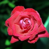 роза :: Владимир Сачко
