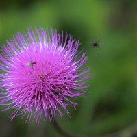 Колючка-тоже бывает нежным цветочком) :: Лариса Сафонова